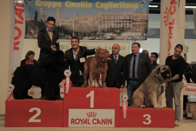 TOP DOG 2013 & INTERNATIONAL CHAMPION !!!!! - IRONMASTIFF-KENNEL