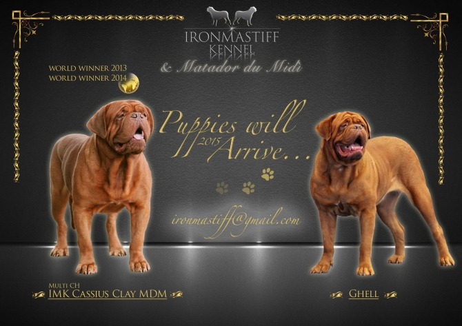 LITTER FROM CASSIUS X GHELL !!!! - IRONMASTIFF-KENNEL