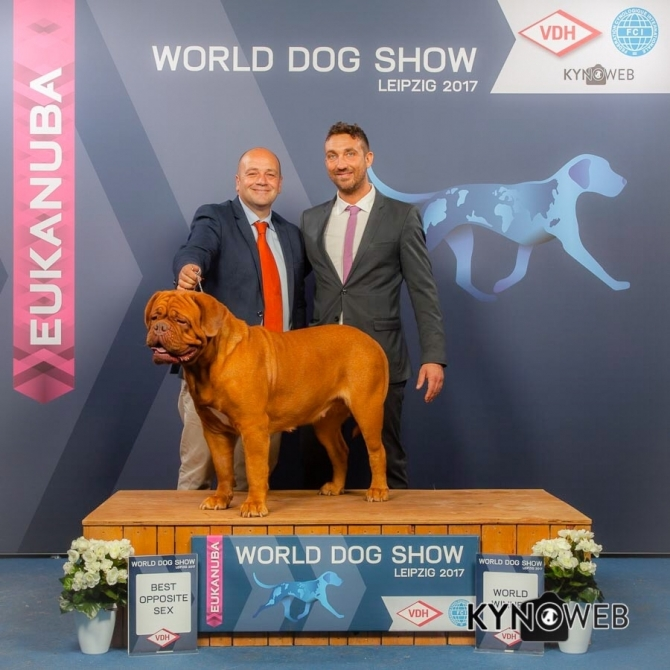 ".: IMK HULA MDM "" WORLD WINNER 2017 "" - IRONMASTIFF-KENNEL"