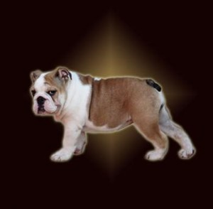 English Bulldog - IRONMASTIFF-KENNEL