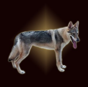Czechoslovakian Wolfdog - IRONMASTIFF-KENNEL